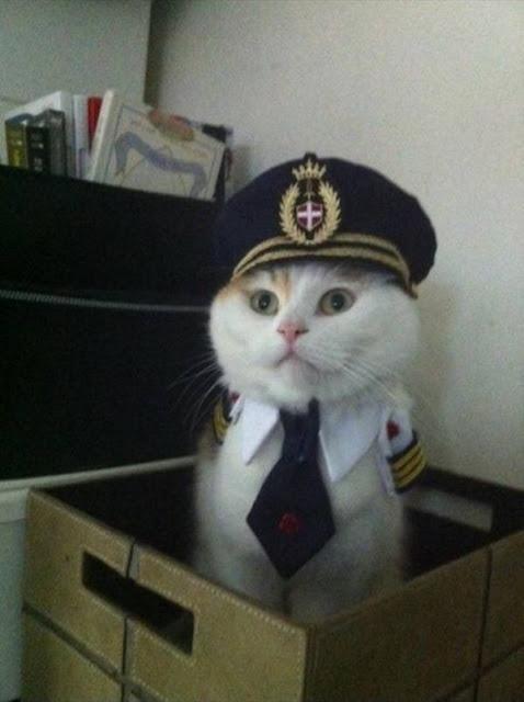 صور قطط شيرازي