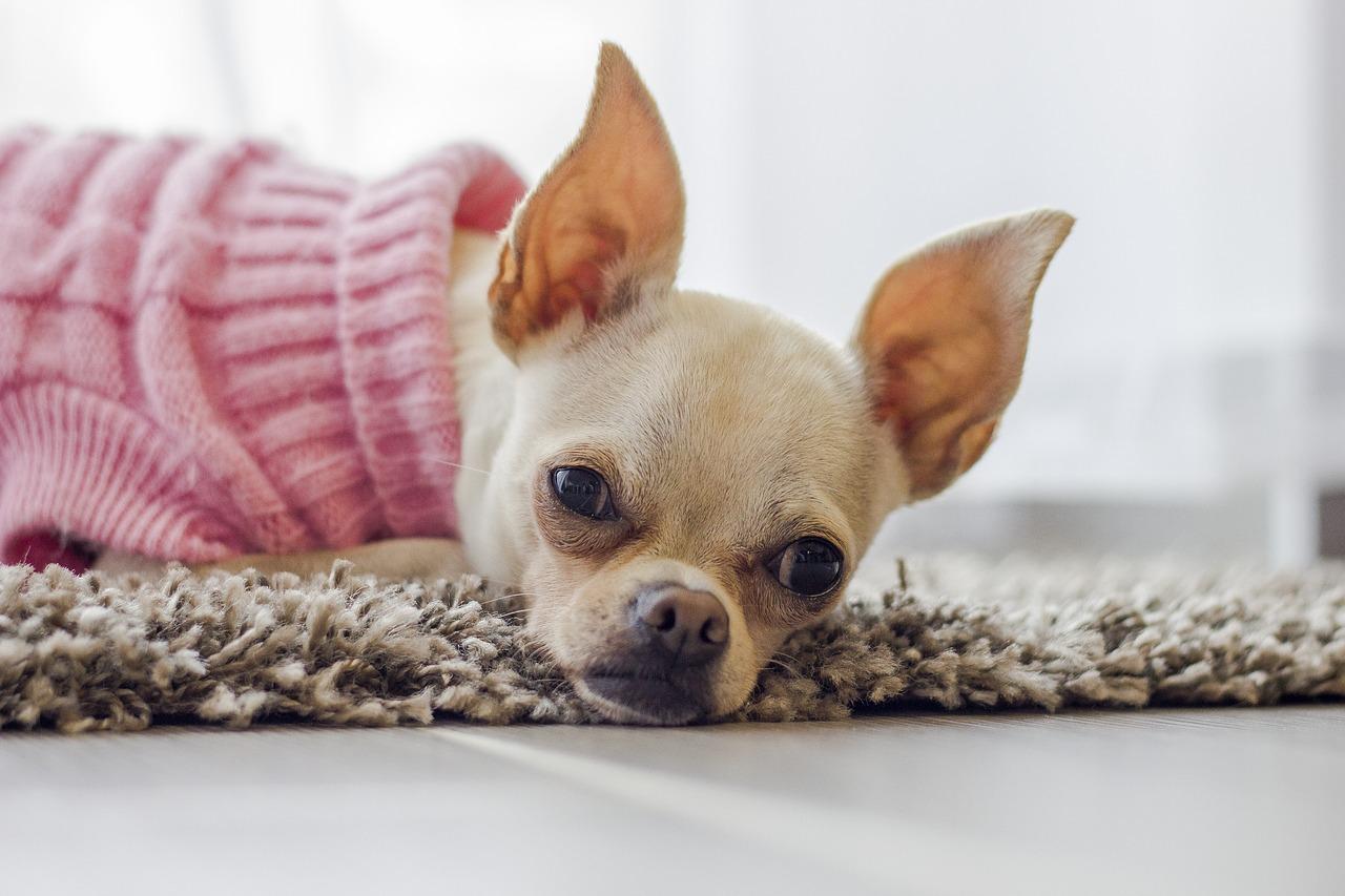 Conseils pour choisir un pull pour chiens