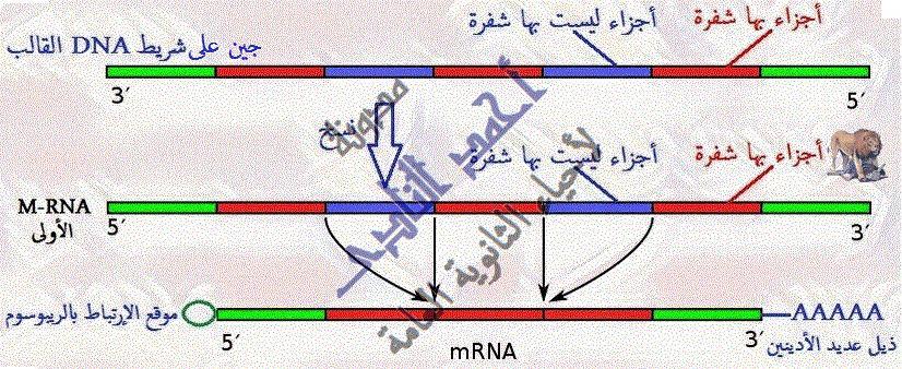 إستنساخ تتابعات dna -  عملية الإستنساخ – الحصول على قطع dna – إنزيمات القطع – القصر البكتيرية – إنزيم النسخ العكسى- أجزاء بها شفرة -  أحياء الثالث الثانوى