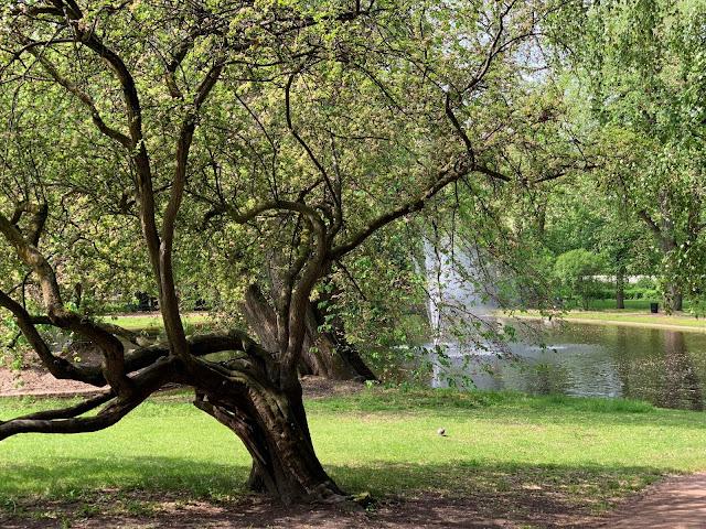 Slottsparken - en oase i hovedstaden vår, Oslo. Skulpturelt tre med en dam i bakgrunnen IMG_0223 (2)-min