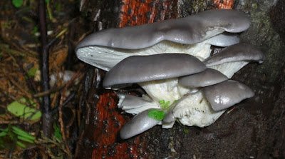 Scope of mushroom cultivation ppt
