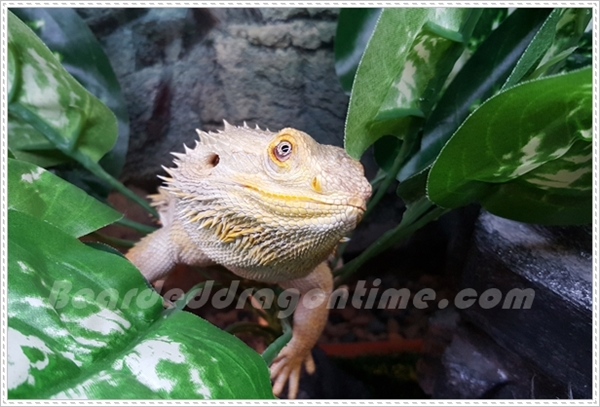 cute bearded dragon