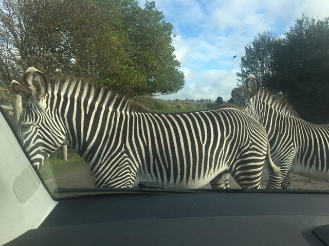 West Midlands Safari Park zebra, zebra crossing