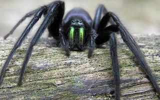 Zwarte harige spin op tak