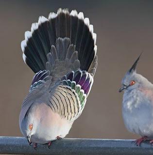 Foto de um casal de Crested Pigeon( Ocyphaps lophotes) ou Rola-da-crista pousados sobre um cano horizontal molhado. À esquerda, o macho com o corpo bem inclinado para baixo e à direita, a fêmea observa a câmera deixando bem visível, a peculiar característica anatômica: a pontuda crista negra sobre a cabeça. A Rola-da-crista é uma ave de pequeno porte, a plumagem é acinzentada, sendo branca no peito ao abdome, Nas asas, apresenta manchas iridescentes  verde e púrpura marginadas em branco e na parte superior das asas: riscas paralelas castanho-escuras. A cauda está aberta em um leque duplo, o menor é cinza e o maior é preto, também marginado em branco. Destaca-se a pele nua avermelhada em torno dos olhos amarelos e as patas da mesma cor. Origem: Austrália