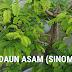 DAUN ASAM (SINOM)