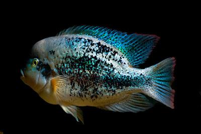 Bifa Vieja zonatus ikan hias air tawar