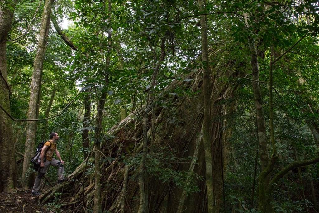 Ficus centenario en Monteverde