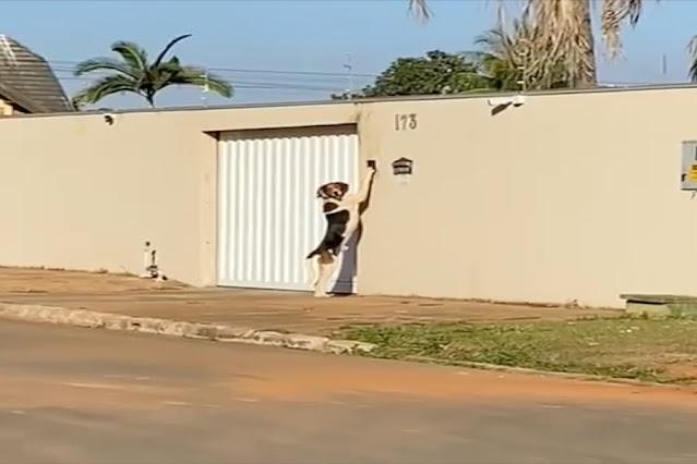 Cachorro toca campainha após ficar trancado fora de casa e viraliza nas redes sociais: assista