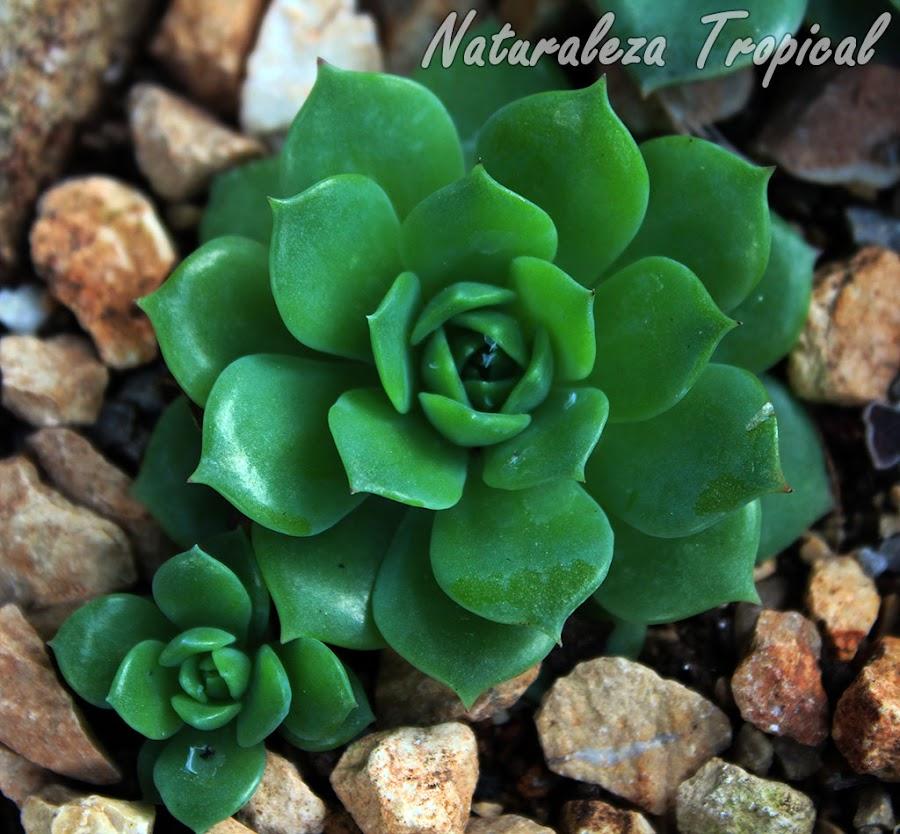 Especie de Echeveria con hojas muy verdes emitiendo planta hija en su base