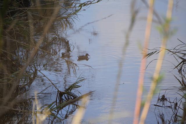 ברווז שוחה בפארק יקום