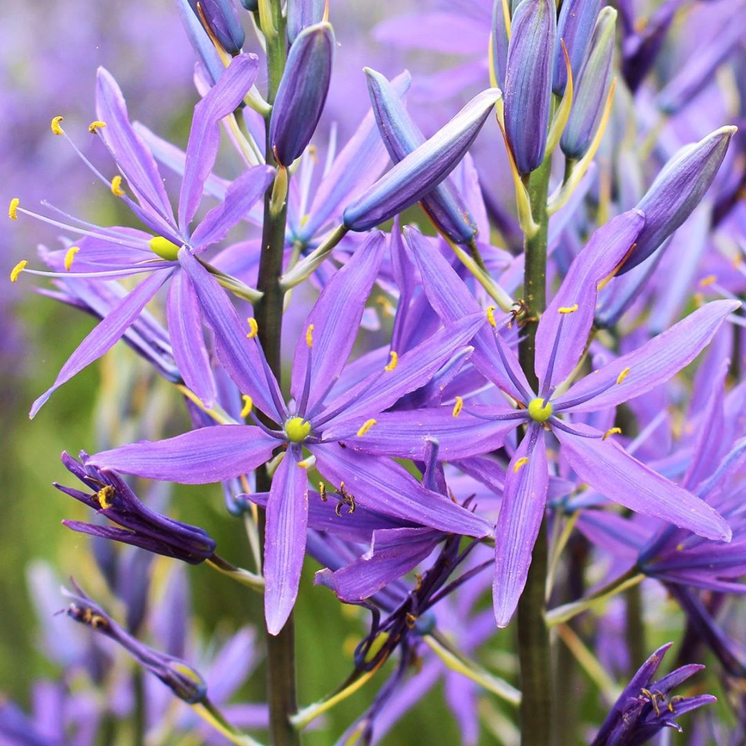 Lilac purple Camassia flowers at Kew Gardens - London lifestyle blog