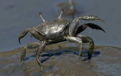 DIY Crab Trap, Fiddler Crab Care, How to Catch Fiddler Crabs, Breeding Season Gallery,Fiddler Crab Tank Mates