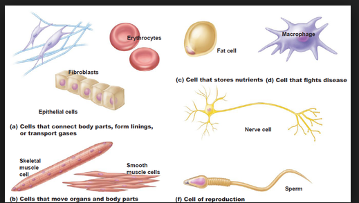 specialised cells in human biology essay Free essay: human biology unit 1 assignment these cells are specialised to synthesise the protein more about how organelles work together to make and.