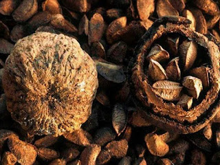 brazil nut fruit images