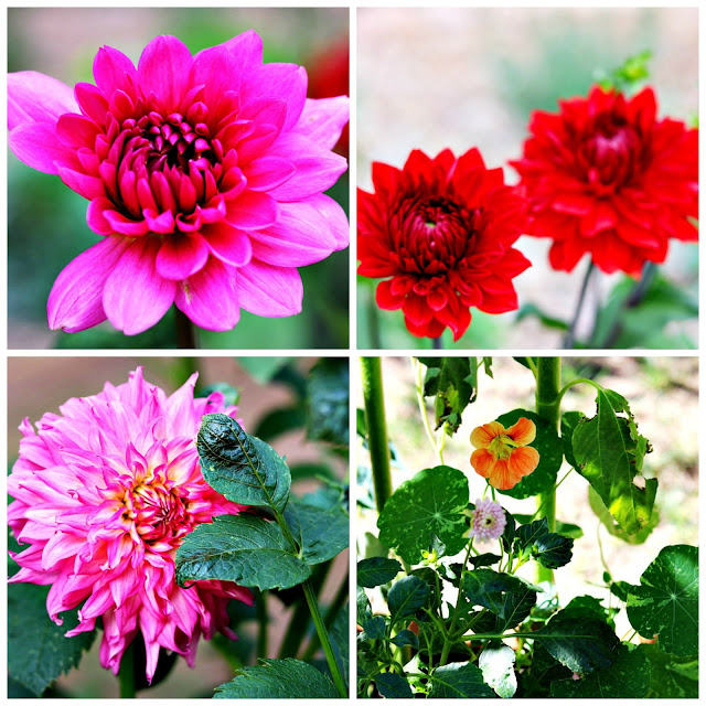 dahlia, dahlia farm, flower farm, gardening