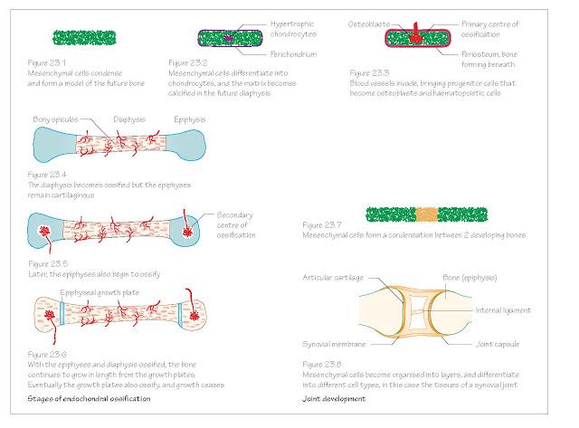 Skeletal System (Ossification)
