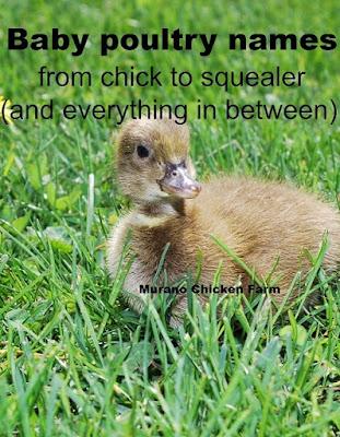 Baby poultry namesr