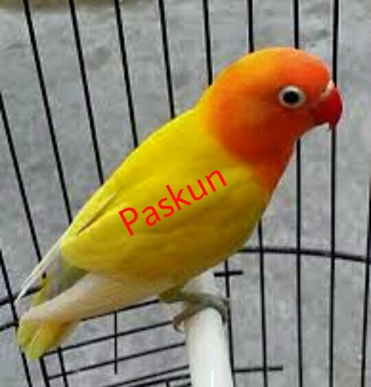 1000+ Foto Gambar Burung Lovebird Paskun HD