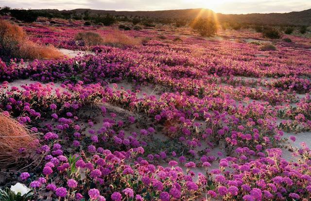 Hoa anh thảo và hoa cỏ roi ngựa trong công viên Anza-Borrego, California