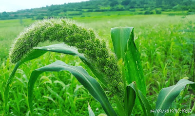 Panicle of Foxtail Millet after 73 days, Variety-SiA 3222