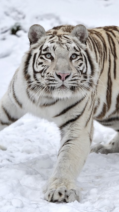 Con Hổ Bạch Tạng