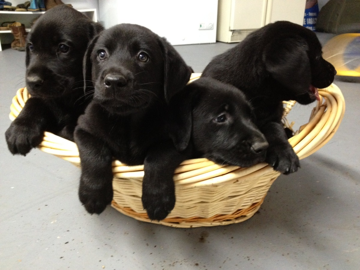 Cute Puppy Dogs: Black Labrador Retriever Puppies
