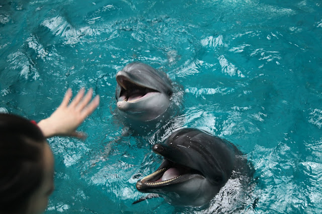 Public display facilities confining marine mammals such as dolphins, are not essential conservation or education resources. The animals suffer poor welfare as a result of their captive environment. Pictured; Dolphins posing for visitors at an entertainment park in China.