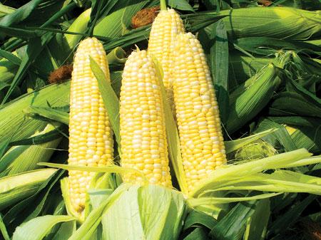 اليكم اهم فوائد الذرة الصحية .