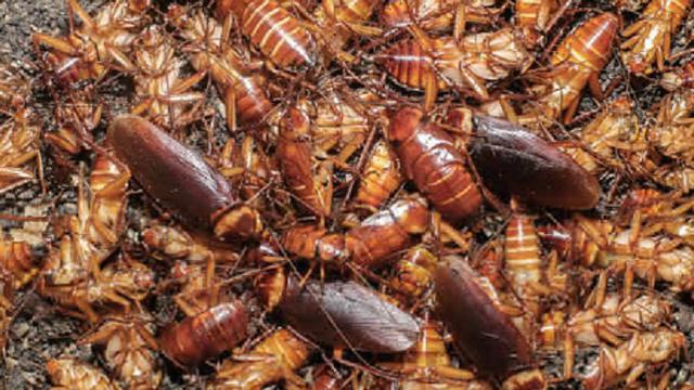 Digerogoti Serangga dari Luar dan Dalam