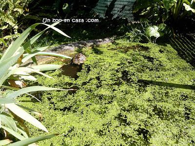 Lenteja de agua (Lemna minor)