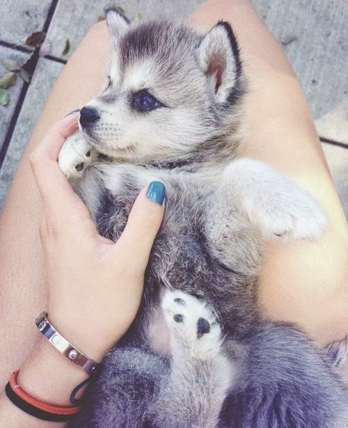 Cute husky puppy with blue eyes