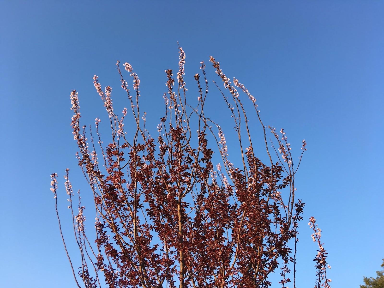Prunus. Yecla, 21/03/2019
