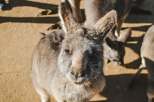 5 destinations to see kangaroo