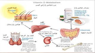 دورة فيتامين د في الجسم