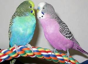 cara membedakan burung parkit jantan dan betina