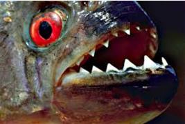 gigi ikan piranha