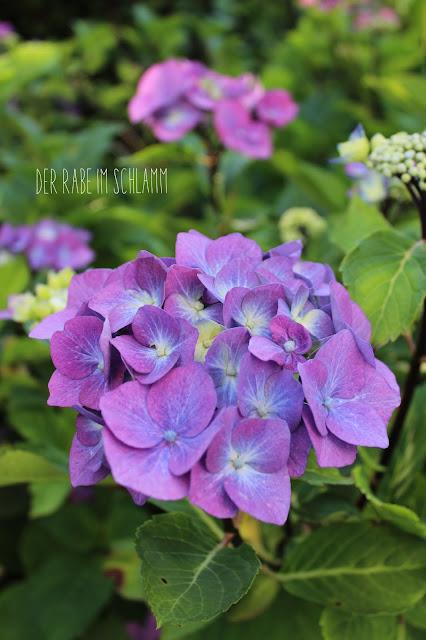 Garten, Hortensie, garden, hydrangea