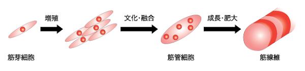 筋芽細胞と筋肥大