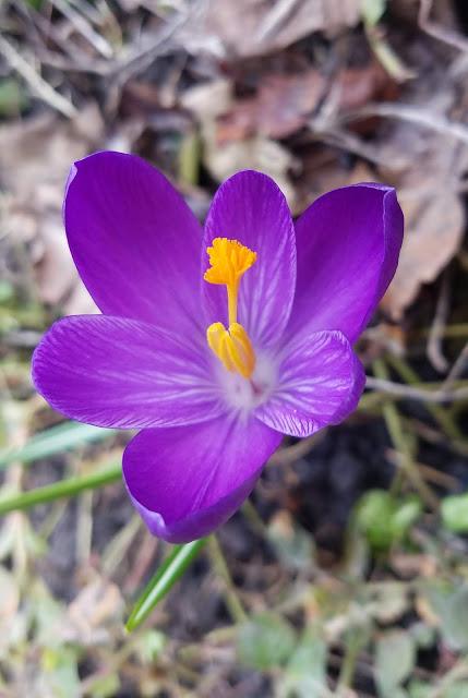 один из первых цветов... красавец - крокус!
