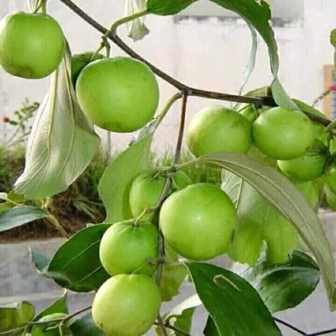 Bibit Pohon Apel Futsa Apel India Cepat Berbuah Termurah Sorong
