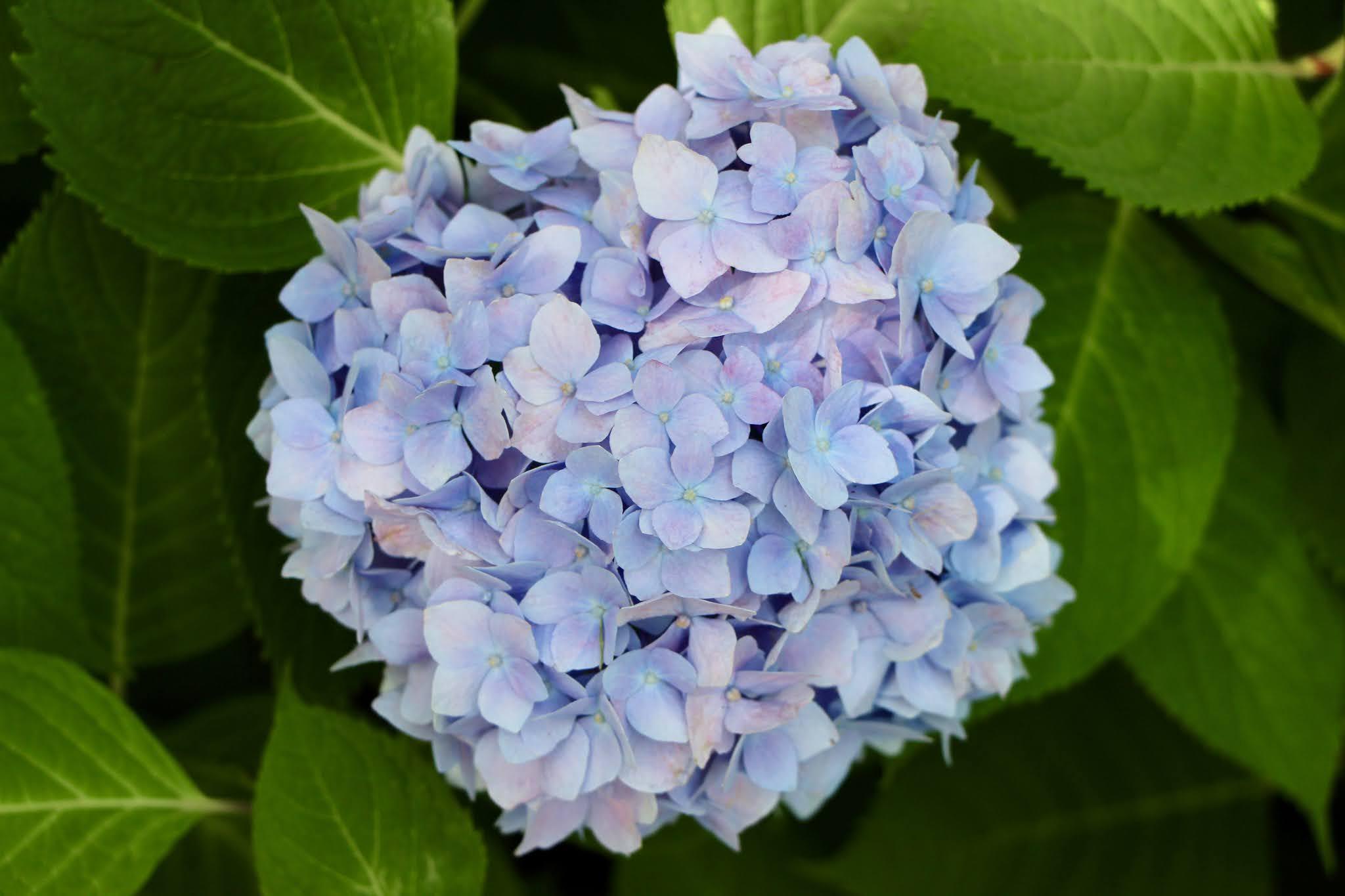 flowers, hydrangeas