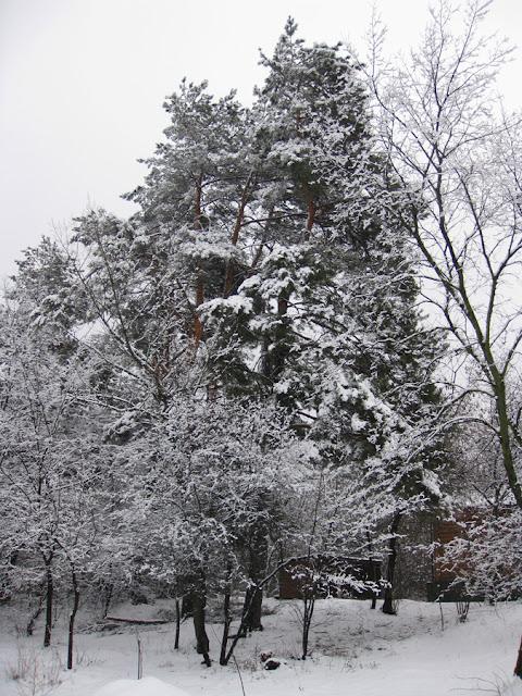 снег на сосне
