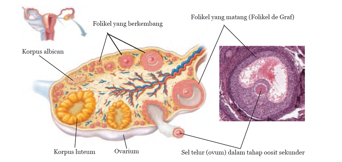 Pras academy smp spermatogenesis dan oogenesis proses gambar struktur ovarium ccuart Choice Image