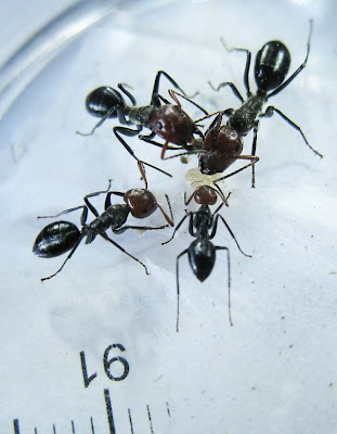 The major, median and minor workers of Camponotus saundersi