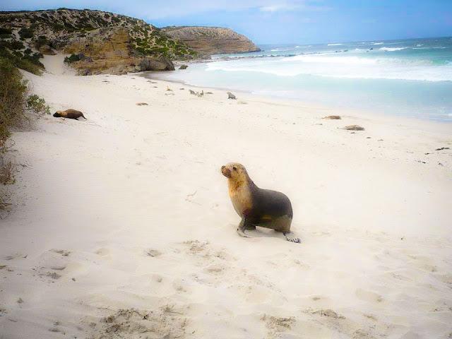 kangaroo island sealion