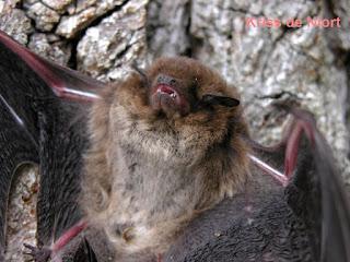 Chauve-souris - Mammifère volant