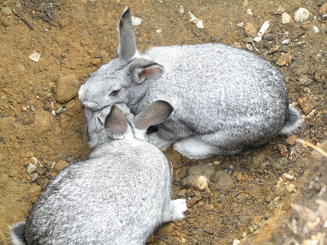 american chinchilla keeping rabbits