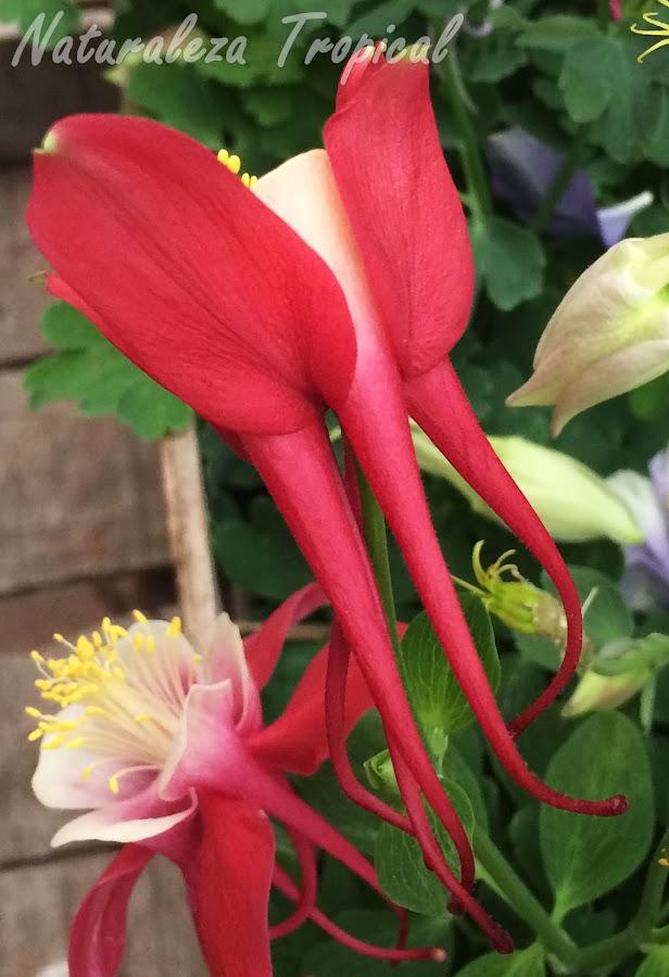 Espuelas visibles en una flor del género Aquilegia