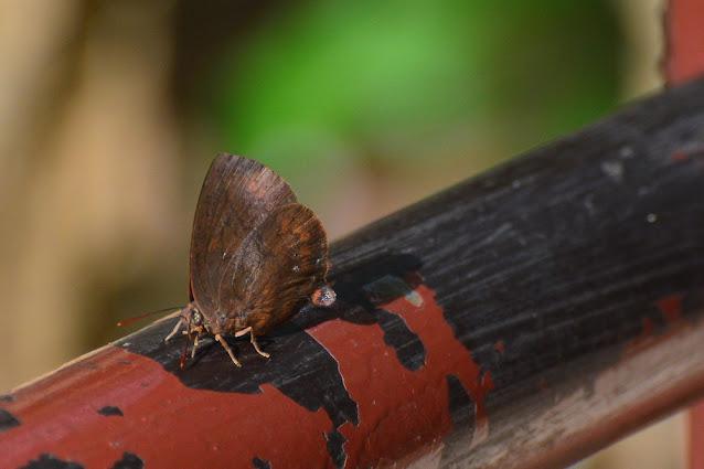 Amblypodia sp
